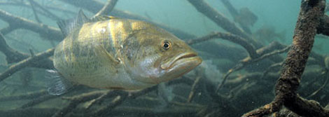 underwater-photo-smallmouth-bass